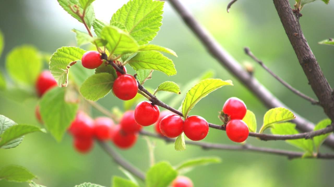 桜の木に実が成っている画像