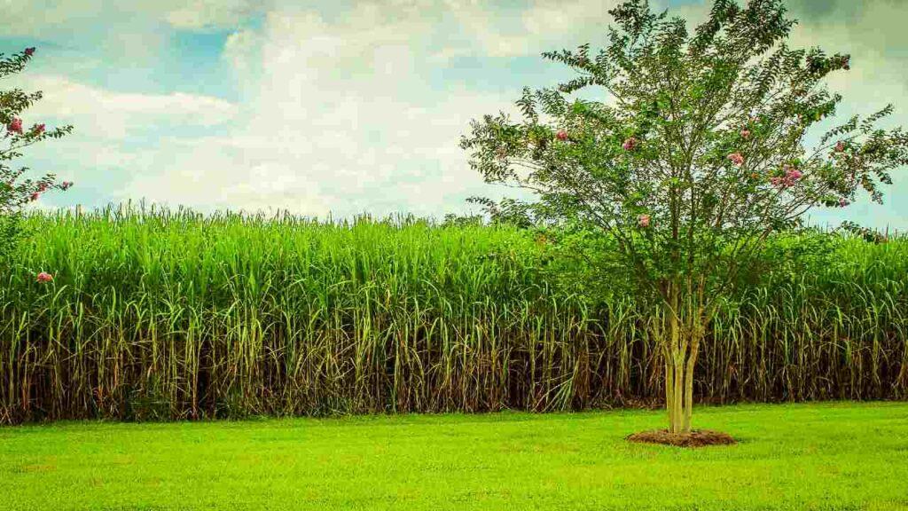サトウキビの風景の画像